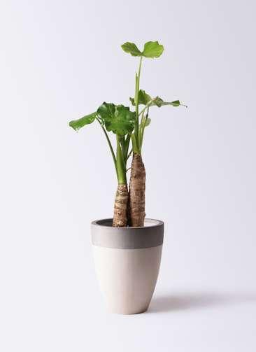 観葉植物 クワズイモ 8号 ファイバーストーンカプリ サンディホワイト 付き