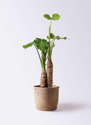 観葉植物 クワズイモ 8号 リブバスケットNatural 付き