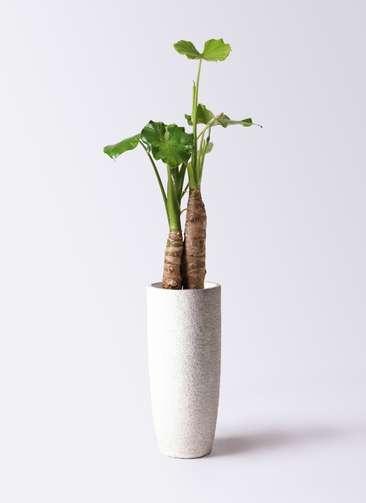 観葉植物 クワズイモ 8号 エコストーントールタイプ white 付き