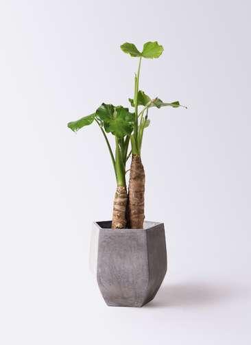 観葉植物 クワズイモ 8号 ファイバークレイ Gray 付き
