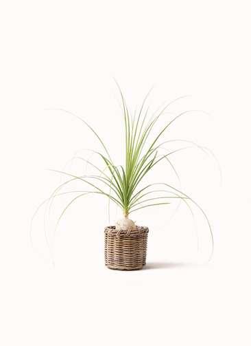 観葉植物 トックリラン 6号 グレイラタン 付き