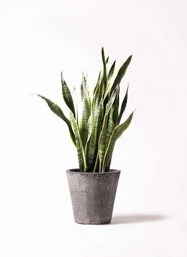観葉植物 サンスベリア 8号 トラノオ フォリオソリッド ブラックウォッシュ 付き