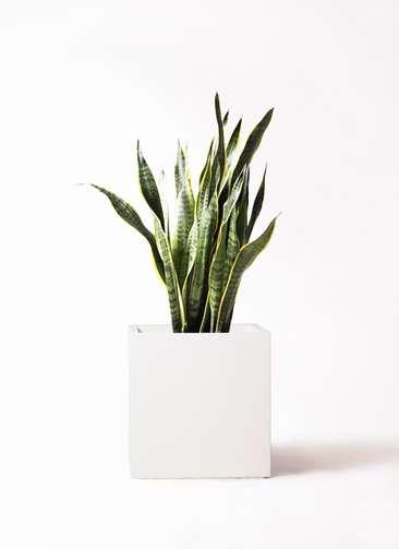 観葉植物 サンスベリア 8号 トラノオ バスク キューブ 付き