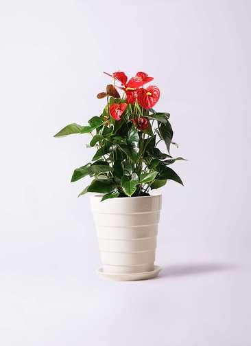 観葉植物 アンスリウム 10号 ダコタ サバトリア 白 付き