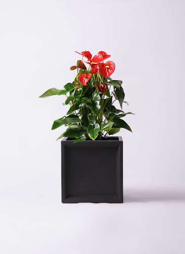 観葉植物 アンスリウム 10号 ダコタ ブリティッシュキューブ 付き