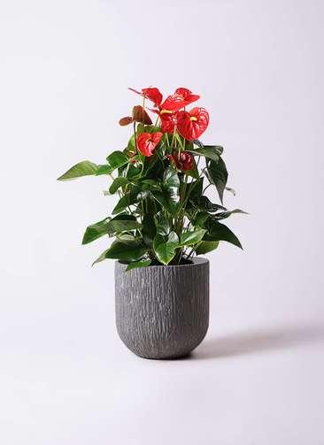 観葉植物 アンスリウム 10号 ダコタ カルディナダークグレイ 付き