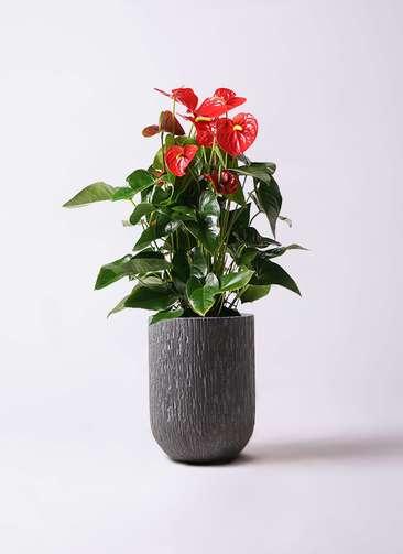 観葉植物 アンスリウム 10号 ダコタ カルディナトールダークグレイ 付き