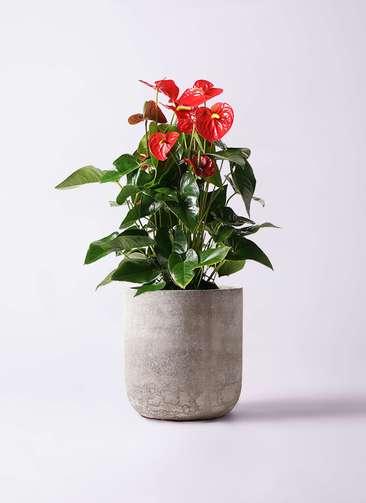 観葉植物 アンスリウム 10号 ダコタ エルバ 白 付き