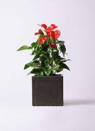 観葉植物 アンスリウム 10号 ダコタ ファイバークレイ キューブ 付き
