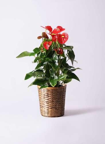 観葉植物 アンスリウム 10号 ダコタ 竹バスケット 付き