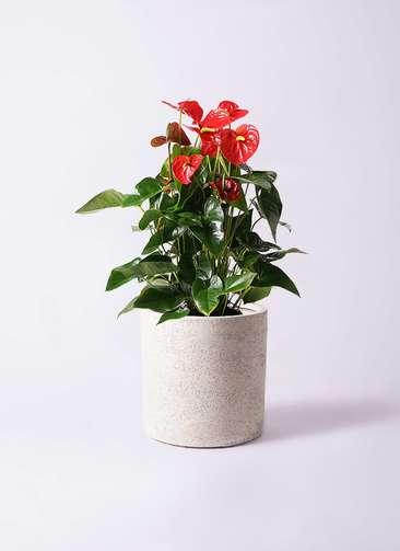 観葉植物 アンスリウム 10号 ダコタ サンディ シリンダー 白 付き