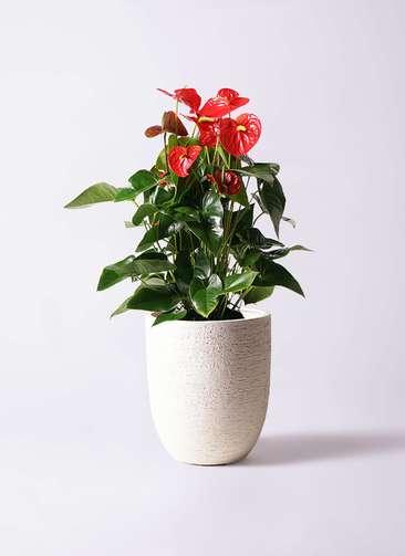 観葉植物 アンスリウム 10号 ダコタ ビアスアルトエッグ 白 付き