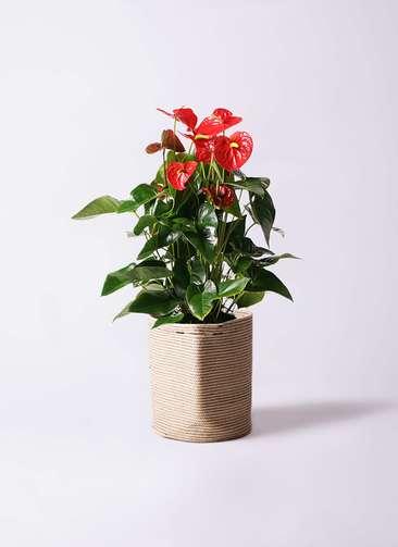 観葉植物 アンスリウム 10号 ダコタ リブバスケットNatural 付き