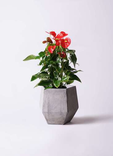 観葉植物 アンスリウム 10号 ダコタ ファイバークレイGray 付き