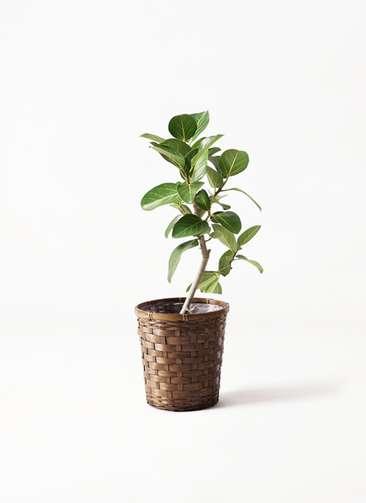 観葉植物 フィカス ベンガレンシス 6号 ストレート 竹バスケット 付き