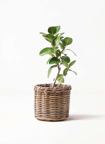 観葉植物 フィカス ベンガレンシス 6号 ストレート グレイラタン 付き