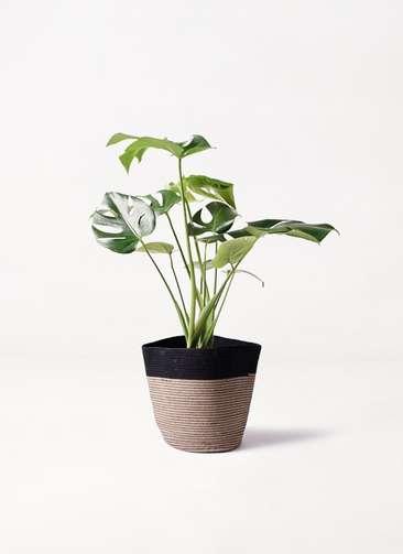 観葉植物 モンステラ 6号 ボサ造り リブバスケットNatural and Black 付き