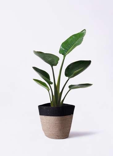 観葉植物 オーガスタ 6号 リブバスケットNatural and Black 付き