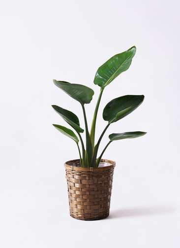 観葉植物 オーガスタ 6号 竹バスケット 付き