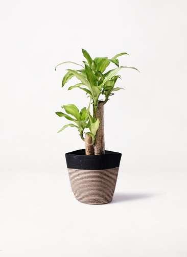 観葉植物 ドラセナ 幸福の木 6号 ノーマル リブバスケットNatural and Black 付き