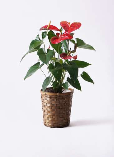 観葉植物 アンスリウム 6号 ダコタ 竹バスケット 付き