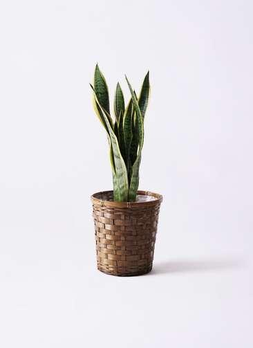 観葉植物 サンスベリア 6号 トラノオ 竹バスケット 付き