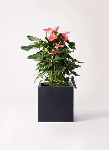 観葉植物 アンスリウム 10号 ピンクチャンピオン ベータ キューブプランター 黒 付き