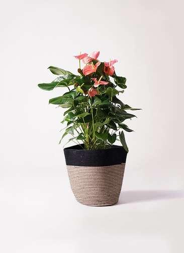 観葉植物 アンスリウム 10号 ピンクチャンピオン リブバスケットNatural and Black 付き