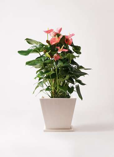 観葉植物 アンスリウム 10号 ピンクチャンピオン パウダーストーン 白 付き