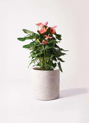 観葉植物 アンスリウム 10号 ピンクチャンピオン サンディ シリンダー 白 付き