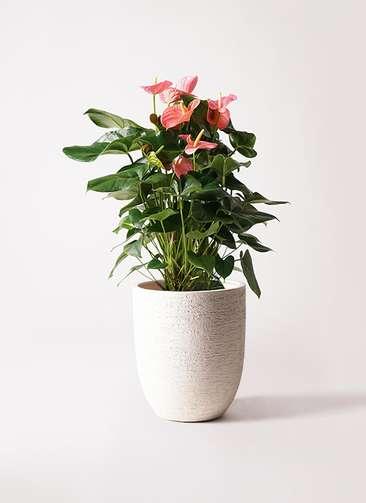 観葉植物 アンスリウム 10号 ピンクチャンピオン ビアスアルトエッグ 白 付き