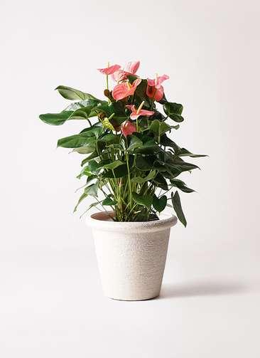 観葉植物 アンスリウム 10号 ピンクチャンピオン ビアスリムス 白 付き