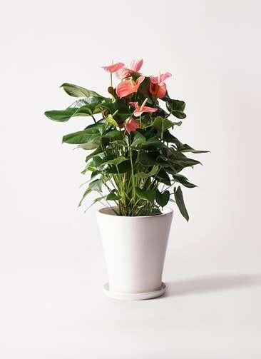 観葉植物 アンスリウム 10号 ピンクチャンピオン サブリナ 白 付き