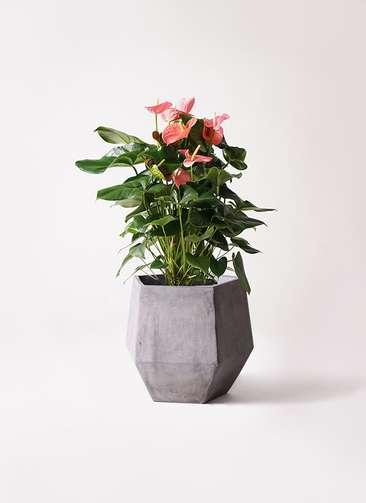 観葉植物 アンスリウム 10号 ピンクチャンピオン ファイバークレイGray 付き