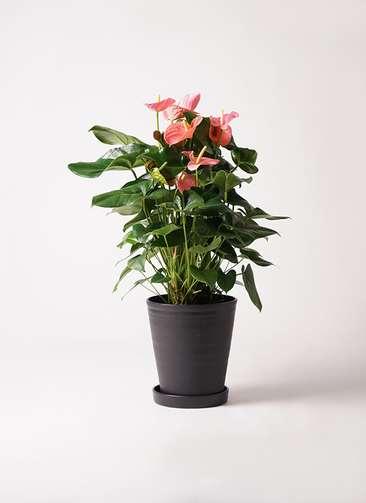 観葉植物 アンスリウム 10号 ピンクチャンピオン プラスチック鉢
