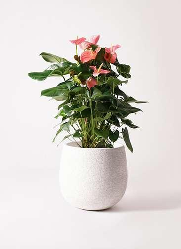 観葉植物 アンスリウム 10号 ピンクチャンピオン エコストーンwhite 付き