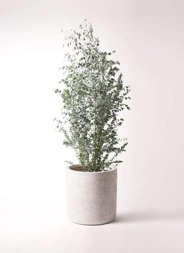 観葉植物 ユーカリ 10号 グニー サンディ シリンダー 白 付き