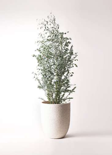 観葉植物 ユーカリ 10号 グニー ビアスアルトエッグ 白 付き