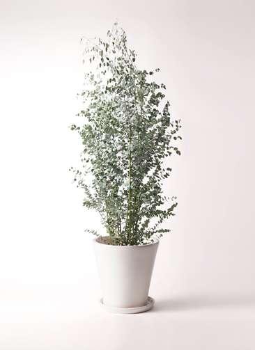 観葉植物 ユーカリ 10号 グニー サブリナ 白 付き