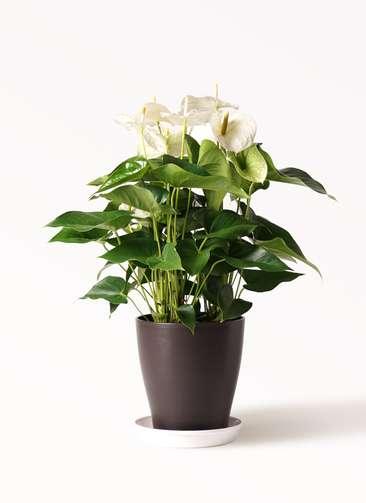 観葉植物 アンスリウム 8号 スミ プラスチック鉢