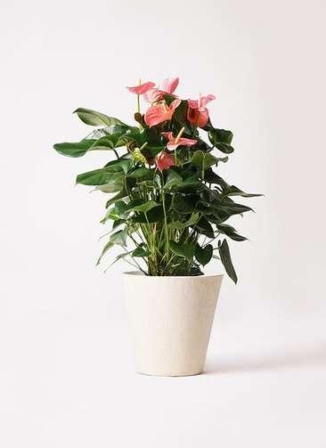 観葉植物 アンスリウム 10号 ピンクチャンピオン フォリオソリッド クリーム 付き