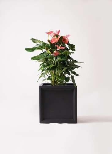 観葉植物 アンスリウム 10号 ピンクチャンピオン ブリティッシュキューブ 付き