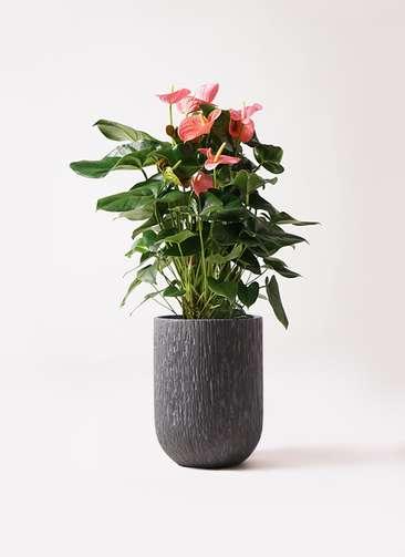 観葉植物 アンスリウム 10号 ピンクチャンピオン カルディナトールダークグレイ 付き