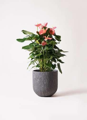 観葉植物 アンスリウム 10号 ピンクチャンピオン カルディナダークグレイ 付き