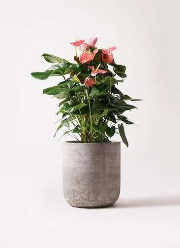 観葉植物 アンスリウム 10号 ピンクチャンピオン エルバ 白 付き