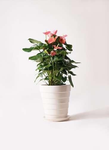 観葉植物 アンスリウム 10号 ピンクチャンピオン サバトリア 白 付き