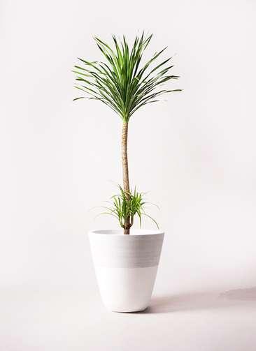 観葉植物 ドラセナ カンボジアーナ 10号 ジュピター 白 付き