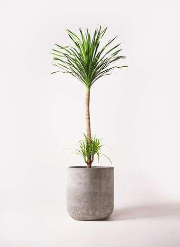 観葉植物 ドラセナ カンボジアーナ 10号 エルバ 白 付き