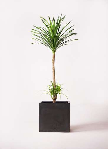 観葉植物 ドラセナ カンボジアーナ 10号 ファイバークレイ 付き