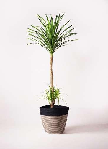 観葉植物 ドラセナ カンボジアーナ 10号 リブバスケットNatural and Black 付き